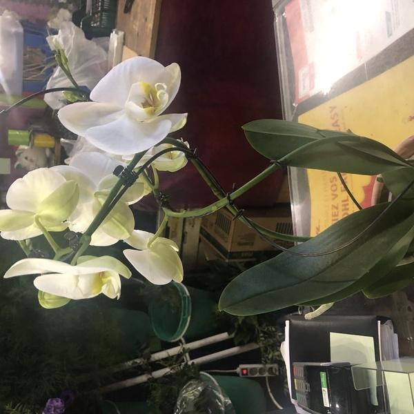 phaleo blanche tw